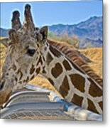 Giraffe At Feeding Station In Living Desert Zoo And Gardens In Palm Desert-california Metal Print