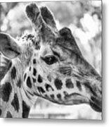 Giraffe Bw Metal Print