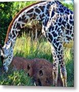 Giraffe Feasting Metal Print