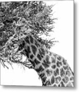 Giraffe Hide And Seek Metal Print