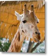 Giraffe In The Zoo. Metal Print