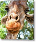 Giraffe Interest Metal Print