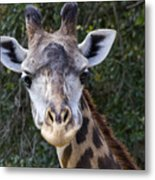 Giraffe Looking At You Metal Print
