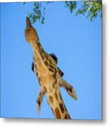 Giraffe Lunch Metal Print