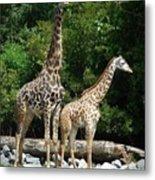 Giraffe, Male And Female Metal Print