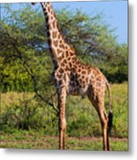 Giraffe On Savanna. Safari In Serengeti Metal Print