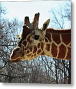 Giraffe Stretching For A View Metal Print