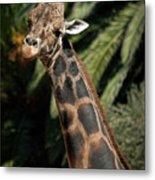 Giraffe Study 2 Metal Print