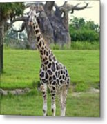 Giraffe With African Baobob Tree Metal Print