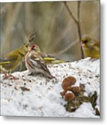 Give Me A Kiss. Redpolls And Greenfinches Metal Print