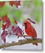 Give Me Shelter - Male Cardinal Metal Print by Kerri Farley