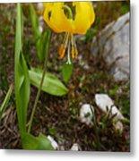 Glacier Lily 1 Metal Print