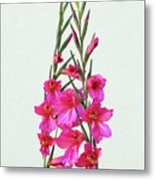 Gladioli Byzantinus In Love Metal Print