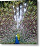 Glassy Peacock  Metal Print