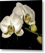 Glissoning Orchids Metal Print
