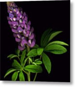 Glorious Purple Lupine Metal Print