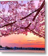 Glorious Sunset Over Cherry Tree At The Jefferson Memorial  Metal Print