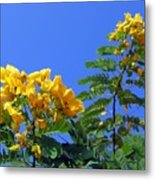 Glossy Shower Senna Tree Metal Print