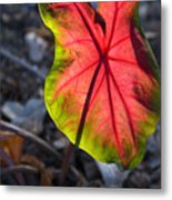 Glowing Coladium Leaf Metal Print