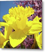 Glowing Yellow Daffodils Art Prints Pink Blossoms Spring Baslee Troutman Metal Print