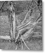 Gnarled Cedar Stump Metal Print