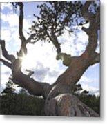 Gnarled Pine Tree And Sun Metal Print