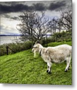 Goat Enjoying The View Metal Print
