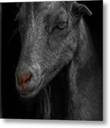 Goat In Red Barn Metal Print