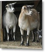 Goat Trio Metal Print