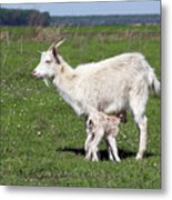 Goat With Just Born Little Goat Spring Scene Metal Print