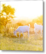 Goats Grazing In Field Metal Print