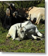 Goats Lying Under A Bush Metal Print