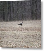 Gobbler Running Across The Field Metal Print