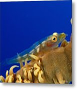 Goby On Wire Coral Metal Print
