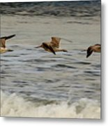 Bar Tailed Godwits Metal Print