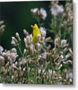 Gold Finches-12 Metal Print