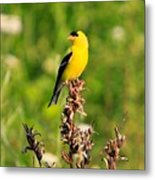 Gold Finches-4 Metal Print