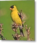 Gold Finches-6 Metal Print