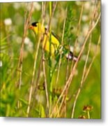 Gold Finches-8 Metal Print