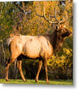 Golden Bull Elk Portrait Metal Print