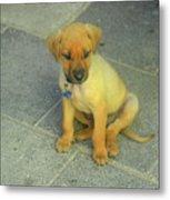 Golden Cunucu Puppy In Aruba Metal Print