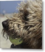 Golden Doodle And His Ball Metal Print