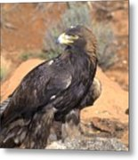 Golden Eagle On Rabbit Metal Print