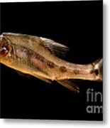 Golden Line Barbel Metal Print