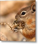 Golden-mantled Ground Squirrel Eating Prickly Spine Metal Print