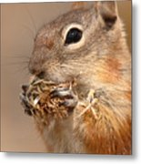 Golden-mantled Ground Squirrel Nibbling On A Bite Metal Print