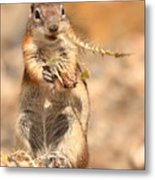Golden-mantled Ground Squirrel With A Prickly Bite Metal Print