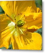 Golden Poppy Expose Metal Print