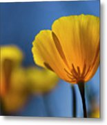 Golden Poppy Reaching For The Skies  Metal Print