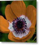 Golden Poppy Metal Print